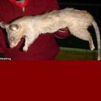 Serang Tikus Raksasa Di Kota Teheran (Iran)